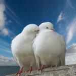 Белый голубь - примета любви, голубь в окне - примета тоски