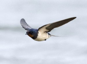 flying_swallow