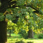 Магия деревьев: помощники или враги?