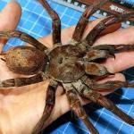 Самый большой кошмар: гигантский паук из Конго