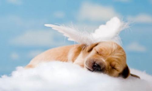 "A one week old Golden Retriever puppy asleep on a cloud, ""Sleeping Angel"" with puppy Orange"